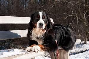 Berner Sennenhund Gewicht : berner sennenhund ~ Markanthonyermac.com Haus und Dekorationen