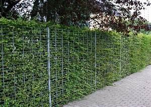 Kirschlorbeer Pflanzen Abstand : hainbuchenhecken preiswertes heckengeh lze carpinus ~ Lizthompson.info Haus und Dekorationen