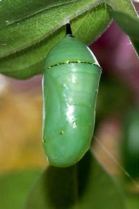 monarch butterfly pupa, chrysalis | lime and purple ...