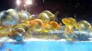 Hobbyist Grade Lionchu Goldfish Japanese Lionhead / Ranchu ...