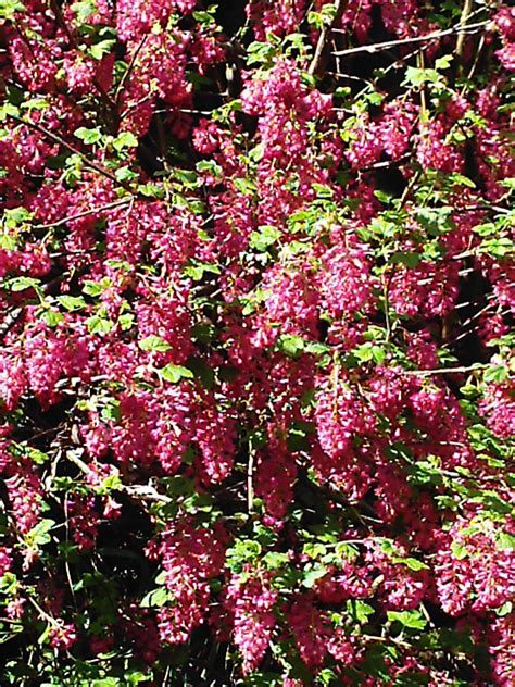 Spring Flowering Shrubs  Minerva's Garden Blog