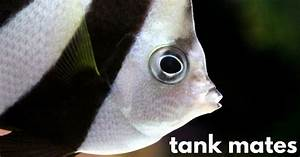 13 Colorful Angelfish Compatible Tank Mates - Fish Tank ...
