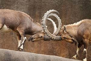 Ram Animal Pictures, Images and Stock Photos - iStock