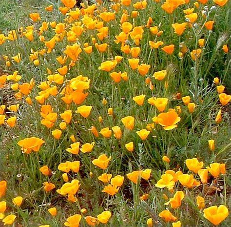 ca plants eschscholzia californica california poppy