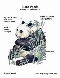 Panda Teeth Diagram