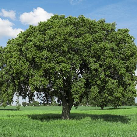 live oak trees for sale fast growing trees