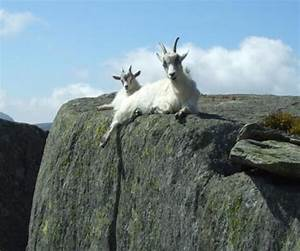 20 Mountain Goats Who Never Heard The Word Fear