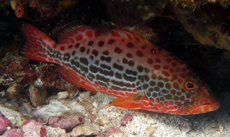 grouper yellowfin costa fish rica nice juvenile coral phase yellow types venenosa mycteroperca boats costarica groupers ids fishing sportfishing fins