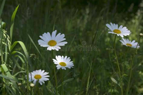 0,3 km da quartiere brera. Piccolo Fiore Bianco In Fogliame Con Il Centro Giallo Fotografia Stock - Immagine di centro ...