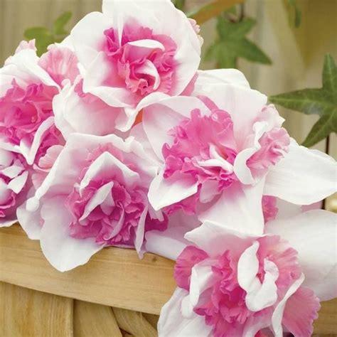 Pink Daffodil Flower