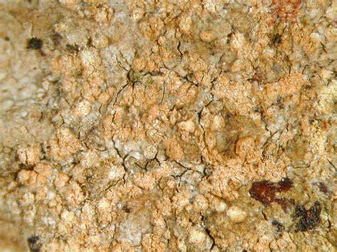 Dendrographa decolorans - lichenology.info - species details