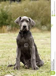 Blue Great Dane Puppy dog stock image. Image of dane ...