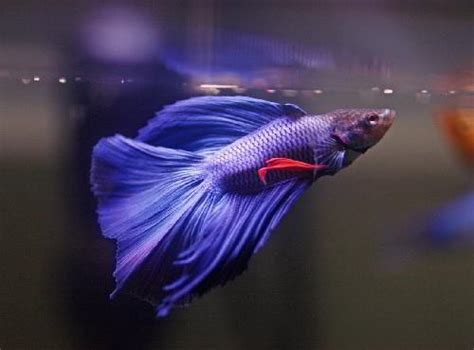 how do bettas live purple fighter fish www pixshark com images galleries with a bite
