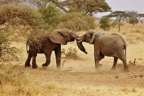 elephant babies family  photo  pixabay