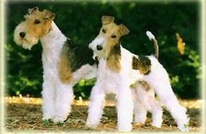 Wire hair fox terrier   Cutie Pies   Pinterest
