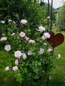 Kletterrose New Dawn : kletterrose 39 new dawn 39 rosa 39 new dawn 39 baumschule ~ Michelbontemps.com Haus und Dekorationen