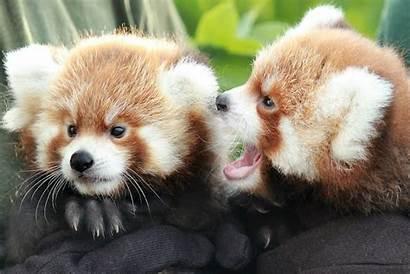 Panda Cubs Zoo Toronto Adorable Babies Welcomed