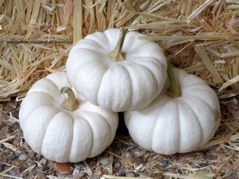 pumpkin baby boo seeds garden hoard certified