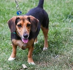 Doxle (Beagle X Dachshund Mix) Info, Temperament, Puppies ...