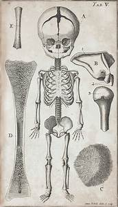 Anatomical Diagram Of The Skeleton Of A Fetus And Other