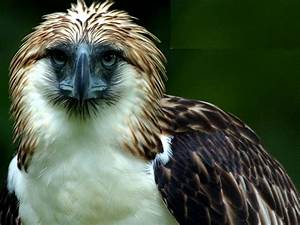Arthur: The Philippine Eagle - The Philippine Economic Eagle  Philippine