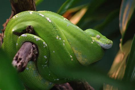 stock photo  green tree snake freeimageslive