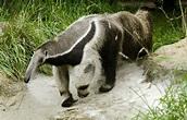 Giant Anteater - Potawatomi Zoo