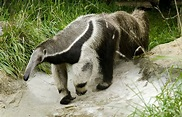 Giant Anteater - Potawatomi Zoo