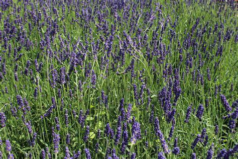 Und Lavendel by Lavendel Echter Lavendel Hidcote Blue Lubera Ch