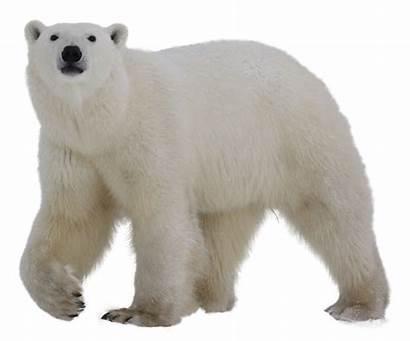 Polar Bear Transparent Clipart Ours Render Willkommen