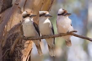 Australian Animals Kookaburra