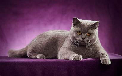 British Cat Shorthair Gray Cats Desktop Eyes