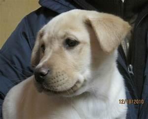 Yellow Lab Pit Mix Puppies | Animal World | Pinterest ...