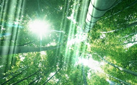 Forest Animated Wallpaper - beautiful bamboo forest animated wallpaper
