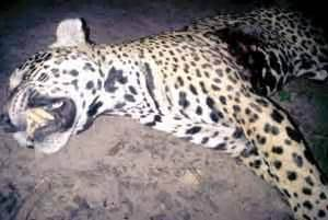 Huge Jaguar Killed At Mashabo  Kaieteur News