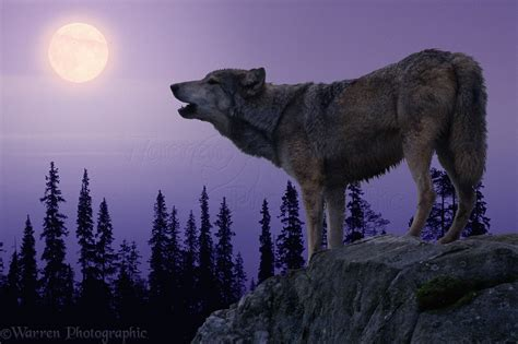 Wolf Wallpaper Real by Wolf Howling At The Moon Wallpaper Wallpapersafari