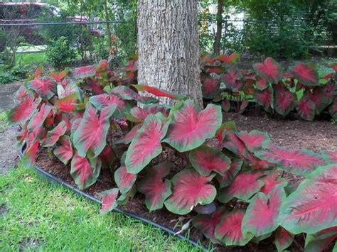les 25 meilleures id 233 es de la cat 233 gorie vivaces d ombre sur plantes d ombre plantes
