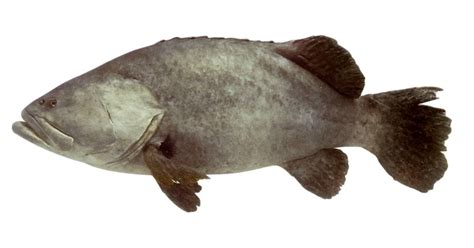 grouper fish facts