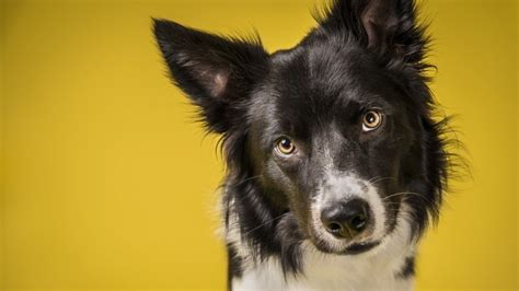 dogs tilt  heads   canine facts