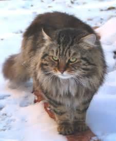 siberian cats siberian cats dallas allergy breed