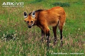 odd animal profile: maned wolf   Endangered Living