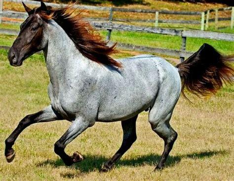 horse rare horses colors roan dapple silver pretty coat mountain rocky chocolate dun colored unusual fabulous genes unique gelding joe