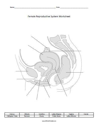 free printable female reproductive system worksheet all free printable pinterest