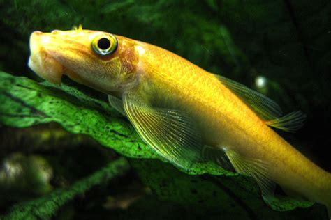 freshwater algae eaters  fish tank chinese