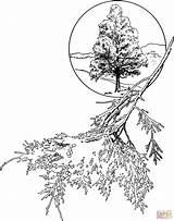 Cedar Coloring Juniper Eastern Tree Drawing Pages Trees Drawings Printable Clipart Leaves Getdrawings Dot Paper Through Colorings sketch template