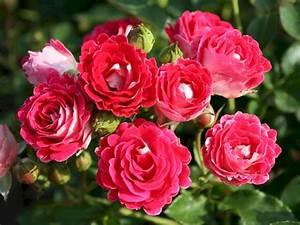Rosen Kaufen Günstig : rose sch ne koblenzerin rosa sch ne koblenzerin g nstig online kaufen ~ Markanthonyermac.com Haus und Dekorationen