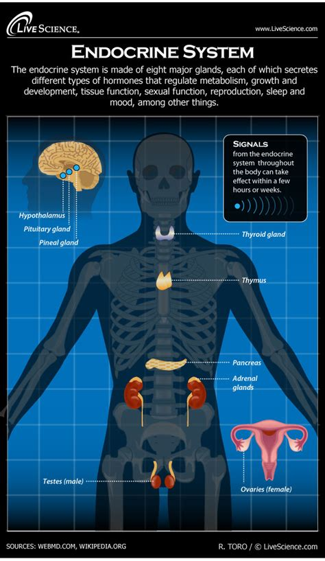 human endocrine system diagram how it works