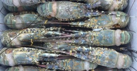 lobster indonesia supplier