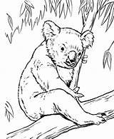 Coloring Pages Bear Koala Lion Tree Koalas Wombat Bears Cub Guard Eucalyptus Realistic Animal Colouring Drawing Printable Getcolorings King Fox sketch template