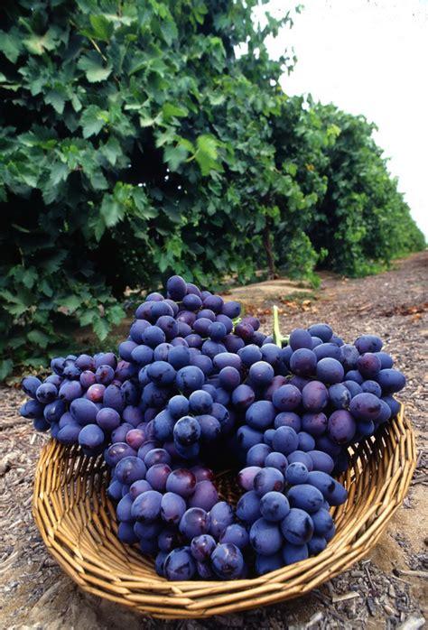 beautiful grapes   garden xemanhdep  awesome